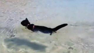 """【海外の反応】犬かき上手な""""ビーチ・キャット""""「なぜ、猫は水が嫌いなのか?」"""