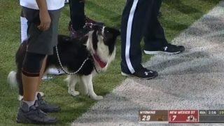 【海外の反応】「可愛いだけでは務まらない」本場大学アメフトチームのマスコット犬