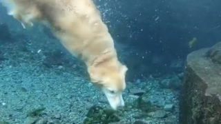 【海外の反応】必要以上に優雅に泳ぐゴールデンレトリバー