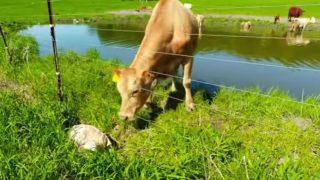 【海外の反応】我が子を救おうとして人間に助けを求めた母牛