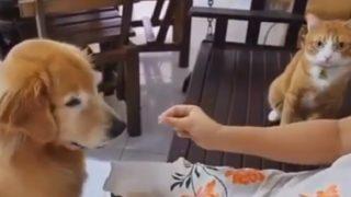 【海外の反応】犬のプレイを見ながらイメトレに励む猫