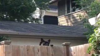 【海外の反応】「これで良い一日間違いなし!」壁越しに挨拶するフレンチブルドッグ