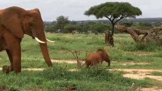 【海外の反応】小ゾウ、叱られる
