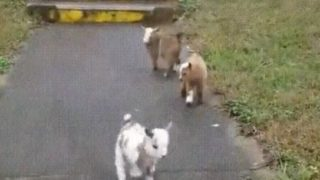 【海外の反応】「カメラが捉えた!3匹の子ヤギに『幸せ』が伝染する瞬間」