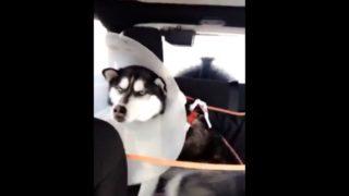 【海外の反応】動物病院からの帰り道、「ひと言もの申したいご様子」のハスキー犬