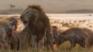 【海外の反応】仲間を救うために20匹のハイエナに闘いを挑むライオン
