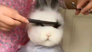 【海外の反応】ウサギ、だまって散髪中