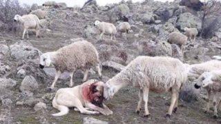 【海外の反応】「最強の番犬」コーカシアン・シェパード・ドッグの勲章