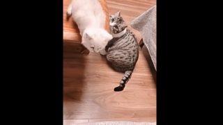【海外の反応】「可愛い子猫には旅をさせよ」ママ猫の子育て日記