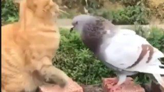 【海外の反応】ハトと子猫の奇妙な友達関係