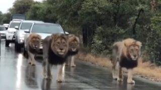 【海外の反応】南アフリカ名物?!「ライオン渋滞」