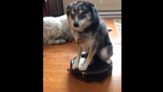 【海外の反応】不幸せなルンバ犬