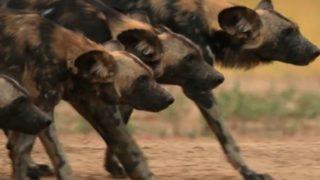 【海外の反応】クールなギャングみたいに歩くアフリカのワイルド・ドッグ
