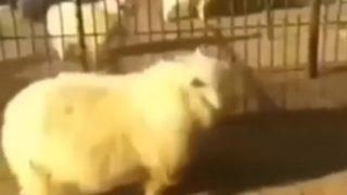 【海外の反応】人間相手にジャッキー・チェン風アクロバット・キックをお見舞いする羊