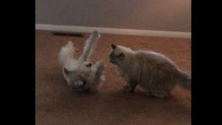 【海外の反応】まるで2匹の猫のようにじゃれあう犬と猫