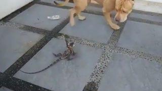 【海外の反応】ピットブル VS エリマキトカゲ