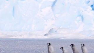 【海外の反応】あのアニメ映画の実写版⁇散歩に出かける赤ちゃんペンギンの群れ!