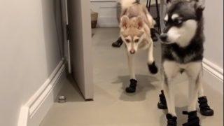【海外の反応】寒がりな犬ぞり犬?「つかみは、オッケー!」