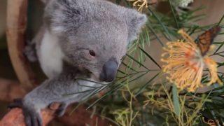 【海外の反応】蝶にいじられるコアラ