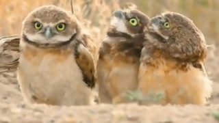 【海外の反応】なんかオッ立ててる仲間をガン見するフクロウ
