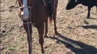 【海外の反応】作業中のカウボーイを守る馬
