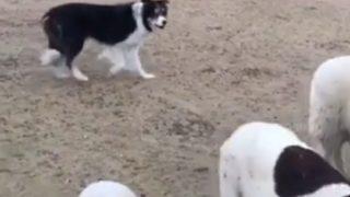 【海外の反応】同僚に恵まれない(?)牧羊犬