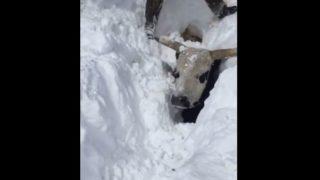 【海外の反応】生きたまま雪に埋もれた牛を掘り越す人たち