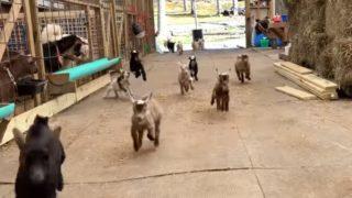 【海外の反応】意味もなく行ったり来たりする子ヤギたちの動画で癒されよう!