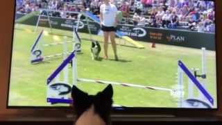 【海外の反応】ドッグショーで優勝した自分の雄姿をテレビ観戦するワンコ