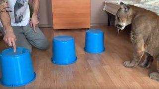 【海外の反応】猛獣ピューマは、猫みたいに飼えるのか?