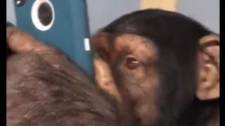 【海外の反応】チンパンジーはスマホをどこまで使いこなせるのか?