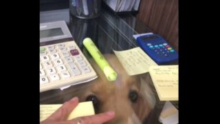【海外の反応】うちの犬「仕事の邪魔はエキスパート・レベル」