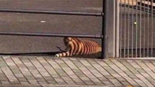 【海外の反応】「近所にトラ?!」と思ったらシバだったw