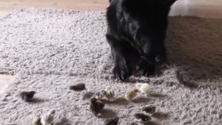 【海外の反応】大型犬の目の前でバケツ一杯分のウズラのヒナを放してみた…