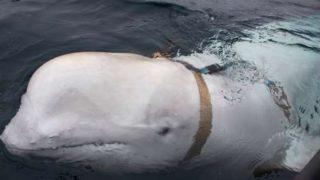 【海外の反応】ロシア海軍の「戦闘シロイルカ」、ノルウェー沖で発見か?