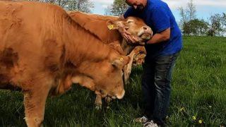 【海外の反応】隣人から牛の世話を頼まれたデイブさん、牛のあまりの可愛さに頼まれた以上の仕事をこなす