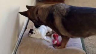 【海外の反応】終わらない闘い…「犬が挑む、猫に奪われたベッドの奪還作戦」