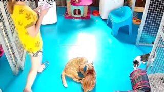 【海外の反応】椅子取りがエキスパートレベルの子猫