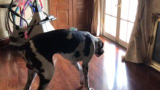 【海外の反応】無駄吠えしながらしつこく迫る大型犬に、我慢の限界に達したニャンコ