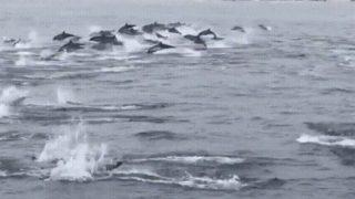 【海外の反応】南カリフォルニア沖に出現したイルカのものすごい大群