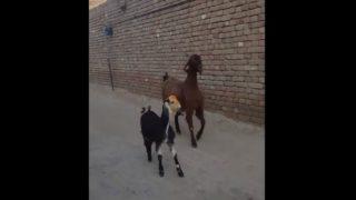 【海外の反応】グルーヴ感あふれるヤギのコンビ
