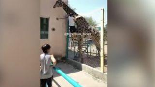 【海外の反応】動物園のキリンにまたがった男