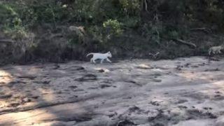 【海外の反応】「リアル・ジャングル大帝?!」南アで見つかった野生のホワイトライオンの子供