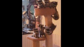 【海外の反応】赤ちゃんアライグマ、キャットタワーに鈴なり!