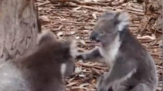 【海外の反応】コアラ同士の滅多に見られない壮絶バトル!