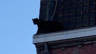 【海外の反応】フランス人のビクターさん「自宅で静かに過ごしていたら、窓の前をクロヒョウが歩いていた…」