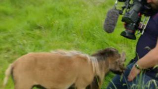 【海外の反応】希少品種カメルーン・シープの超絶ヘッドバットがカメラマンの股間を直撃する希少映像