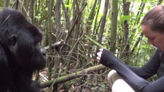 野生のゴリラに近づき過ぎてはいけない本当の理由とは?