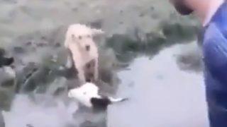沼に落ちて瀕死の子牛を助ける2匹のワンコ