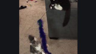 猫じゃらしで猫を遊ばせる猫